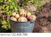 Купить «Ведро с картофелем нового урожая стоит на грядке в солнечный день», фото № 22426786, снято 16 августа 2018 г. (c) FotograFF / Фотобанк Лори