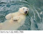Купить «Белый медведь плавает в  воде», фото № 22443786, снято 31 марта 2016 г. (c) Галина Савина / Фотобанк Лори