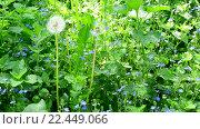 Купить «Луг с одуванчиками и незабудками», видеоролик № 22449066, снято 21 мая 2015 г. (c) Валерий Гусак / Фотобанк Лори