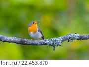 Красивая певчая птица зарянка. Стоковое фото, фотограф Алексей Лобанов / Фотобанк Лори