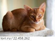 Абиссинская кошка. Стоковое фото, фотограф Игорь Лейчонок / Фотобанк Лори