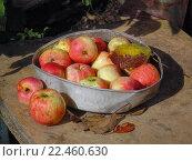 Купить «Яблоки в старой консервной банке», фото № 22460630, снято 14 сентября 2013 г. (c) Ирина Краснова / Фотобанк Лори