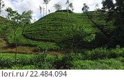 Купить «tea plantation field on Sri Lanka», видеоролик № 22484094, снято 18 февраля 2016 г. (c) Syda Productions / Фотобанк Лори