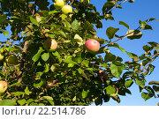 Купить «Яблоки на дереве», фото № 22514786, снято 16 августа 2014 г. (c) Старостин Сергей / Фотобанк Лори