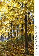 Купить «Autumn maple tree forest.», фото № 22546234, снято 1 ноября 2015 г. (c) Юрий Брыкайло / Фотобанк Лори