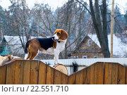 Бигль на дровах за забором. Стоковое фото, фотограф Александр Щепин / Фотобанк Лори