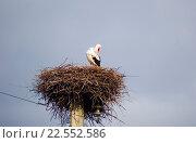 Купить «Белый аист в гнезде. Ciconia ciconia. Ленинградская область», эксклюзивное фото № 22552586, снято 10 апреля 2016 г. (c) Александр Щепин / Фотобанк Лори