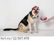 Восточно-европейская овчарка с тортиком для собак. Стоковое фото, фотограф Ирина Золина / Фотобанк Лори