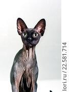 Купить «Крупным планом кошка породы Сфинкс», фото № 22581714, снято 31 марта 2016 г. (c) Стивен Жингель / Фотобанк Лори