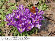 Купить «Бабочка на цветах синего крокуса на фоне старой листвы и пробивающейся зелени на солнце», фото № 22582554, снято 10 апреля 2016 г. (c) Бабкина Марина / Фотобанк Лори
