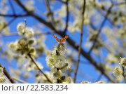 Купить «Яркая бабочка сидит на ветке цветущей ивы ранней весной», фото № 22583234, снято 13 апреля 2016 г. (c) Natalya Sidorova / Фотобанк Лори