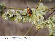 Бабочка крапивница сидит на ветви ивы козьей ранней весной. Стоковое фото, фотограф Natalia Sidorova / Фотобанк Лори