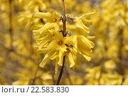 Желтые соцветия форсайтии, или форзиции. Стоковое фото, фотограф Наташа Антонова / Фотобанк Лори