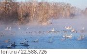 Купить «Swans on lake in the morning mist at early morning», видеоролик № 22588726, снято 19 марта 2016 г. (c) Serg Zastavkin / Фотобанк Лори