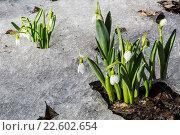 Первоцветы Подснежник белоснежный (Galanthus nivalis) Стоковое фото, фотограф Наталья Волкова / Фотобанк Лори