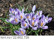 Купить «Первоцвет крокусы», фото № 22602726, снято 17 апреля 2016 г. (c) Елена Абрамова / Фотобанк Лори
