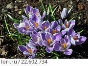Купить «Первоцвет крокусы», фото № 22602734, снято 17 апреля 2016 г. (c) Елена Абрамова / Фотобанк Лори