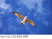 Купить «Полёт чайки с расправленными крыльями», эксклюзивное фото № 22603498, снято 26 сентября 2014 г. (c) Dmitry29 / Фотобанк Лори