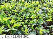 Купить «tea plantation field on Sri Lanka», фото № 22669262, снято 17 февраля 2016 г. (c) Syda Productions / Фотобанк Лори