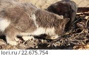 Купить «Два кота едят рыбью голову», видеоролик № 22675754, снято 23 февраля 2016 г. (c) Олег Хархан / Фотобанк Лори