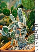 Купить «Кактус - опунция мелковолосистая  (Opuntia microdasys)», фото № 22676194, снято 15 марта 2016 г. (c) Татьяна Белова / Фотобанк Лори