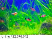 Купить «Аквариумные рыбки (орнатус фантом красный)», фото № 22676642, снято 15 марта 2016 г. (c) Татьяна Белова / Фотобанк Лори