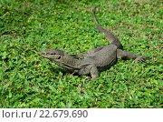 Купить «Бенгальский варан Varanus bengalensis на зелёной траве», фото № 22679690, снято 23 июля 2015 г. (c) Ирина Носова / Фотобанк Лори