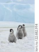 Купить «Пингвинята императорского пингвина», фото № 22682914, снято 18 октября 2010 г. (c) Vladimir / Фотобанк Лори