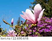 Цветущая розовая магнолия. Стоковое фото, фотограф Татьяна Кахилл / Фотобанк Лори