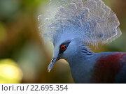 Венценосный голубь, фото № 22695354, снято 23 октября 2007 г. (c) Морозова Татьяна / Фотобанк Лори