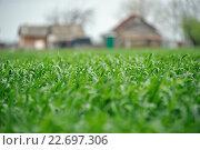 Пшеница растет в огороде возле дома. Стоковое фото, фотограф Михаил Бессмертный / Фотобанк Лори