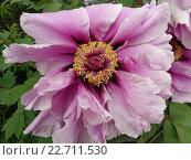 Купить «Крупный розовый цветок древовидного пиона», фото № 22711530, снято 24 апреля 2016 г. (c) DiS / Фотобанк Лори