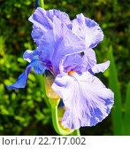 Фиолетовый ирис, цветок крупным планом. Стоковое фото, фотограф E. O. / Фотобанк Лори