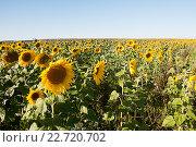 Поле подсолнухов в Московской области. Стоковое фото, фотограф Павел Сарычев / Фотобанк Лори