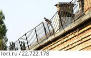 Купить «Темно серый голубь сидит на крыше и улетает», видеоролик № 22722178, снято 1 мая 2016 г. (c) Валерий Гусак / Фотобанк Лори