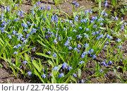 Купить «Первые весенние цветы. Пролеска», фото № 22740566, снято 17 апреля 2016 г. (c) Илюхина Наталья / Фотобанк Лори