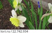Купить «Blooming daffodil.», видеоролик № 22742934, снято 2 мая 2016 г. (c) Игорь Жоров / Фотобанк Лори