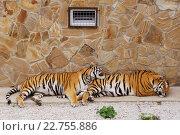 Два молодых амурских тигра спят на открытом воздухе у  пестрой стены. Стоковое фото, фотограф Елена Антипина / Фотобанк Лори