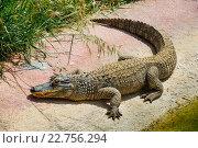 Купить «Крокодил в зоопарке», фото № 22756294, снято 29 апреля 2016 г. (c) Сергей Старуш / Фотобанк Лори