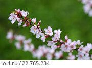 Цветущая войлочная вишня в саду весной. Стоковое фото, фотограф Natalia Sidorova / Фотобанк Лори