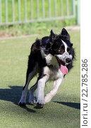 Купить «Собака породы Бордер колли бежит на трассе Аджилити», фото № 22785286, снято 5 мая 2016 г. (c) Анна Зеленская / Фотобанк Лори