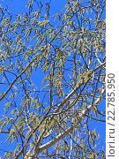 Купить «Осина или Тополь дрожащий (Pоpulus tremula). Цветущие ветви с серёжками», фото № 22785950, снято 22 сентября 2012 г. (c) Евгений Мухортов / Фотобанк Лори