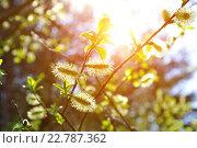 Купить «Весенние пушистые почки ивы в лучах солнца», фото № 22787362, снято 5 мая 2016 г. (c) Зезелина Марина / Фотобанк Лори