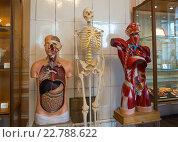 Купить «Манекены, отображающие строение человеческого тела - экспонаты музея гигиены города Санкт-Петербург», эксклюзивное фото № 22788622, снято 13 февраля 2016 г. (c) Вячеслав Палес / Фотобанк Лори