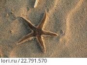 Морская звезда. Стоковое фото, фотограф Андрей Каргапольцев / Фотобанк Лори