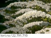 Купить «Красивая цветущая  ветка, фокус по центру. Спирея серая Grefsheim (Spiraea cinerea Zabel)», эксклюзивное фото № 22791710, снято 6 мая 2016 г. (c) Svet / Фотобанк Лори