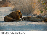 Lion in Namibia Afrika. Стоковое фото, фотограф Zoonar/Volker Schlic / easy Fotostock / Фотобанк Лори