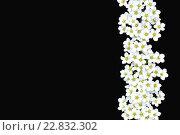 Белые цветы на черном фоне. Стоковое фото, фотограф Лощенов Владимир / Фотобанк Лори