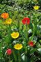 Тюльпаны на клумбе в саду, эксклюзивное фото № 22832422, снято 4 мая 2016 г. (c) Юрий Морозов / Фотобанк Лори