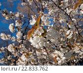 Купить «Яблоня в цвету. Фокус по центру», эксклюзивное фото № 22833762, снято 6 мая 2016 г. (c) Svet / Фотобанк Лори